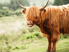 Nice fringe (NikNak Allen) Tags: plymouth dartmoor cow coo cattle highlandcow hairycoo horns face ears nose mouth portrait hairy grass moors moorland morning early sun light