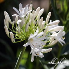 Beautiful white flowers (chk.photo) Tags: landschaft nature naturewatcher outdoor landscape natur naturemasterclass light ngc flower austria blume österreich salzburg flickr