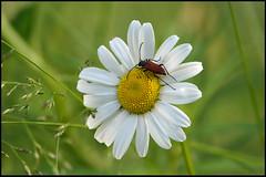 bug on white flower 2 (Håkan Jylhä (Thanks for +1000000 views)) Tags: prästkrage vit blomma skalbagge närbild bug flower white sony rx10iv close closeup sweden sverige summer sommar