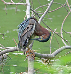 Green Heron (marylee.agnew) Tags: green heron bird preening upside down feathers water nature wildlife tree close