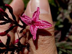 Graptophyllum pictum (L.) Griff. (Ahmad Fuad Morad) Tags: graptophyllumpictum acanthaceae puding daunwungu handeuleumplants