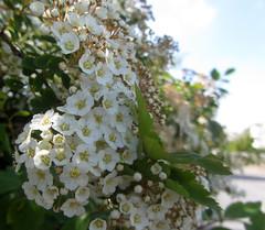 spiraea (helena.e) Tags: helenae husbil rv motorhome öckerö blomma flower spirea spiraea white vit älsa