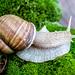 Live wild snail on green moss
