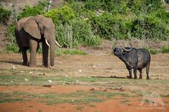 Two Giants (fascinationwildlife) Tags: animal mammal wild wildlife wildlifephotography nature natur national naturephotography naturfotografie photography fotografie bull male africa afrika african südafrika southafrica buffalo cape eastern elephant elefant sanparks summer addo kaffernbüffel büffel