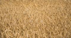 wheat field (mamat75019) Tags: d5300 nikon sigma1750f28 france corn fields field colors wheat