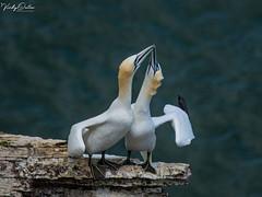 🇬🇧 Gannets... Look I'm taller than you.. (vickyouten) Tags: vickyouten gannet wildlife nature nikon nikond7200 nikonphotography nikkor55300mm bemptoncliffs bridlington uk