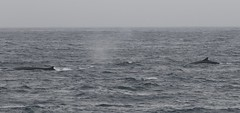 Two Fin Whales at the surface (Paul Cottis) Tags: fin whale cetacean marine mammal swim swimming 28 january 2019 paulcottis southgeorgia southatlantic ocean