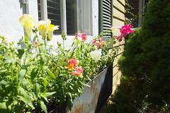 Windowbox Snapdragons (BunnyHugger) Tags: flower garden home lansing michigan snapdragon