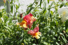 Snapdragon Sport (BunnyHugger) Tags: flower garden home lansing michigan snapdragon