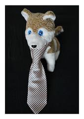 ... wenn ICH Krawatte trage ... (WolfiWolf-presents-WolfiWolf) Tags: wolfiwolf wolfi wolf weristderschönste eneamaemü eyes explorant farky farkas fuddlers fest feiertag marieschen multiversen armani blue blueeyes creator chef derschönste freude federleicht glück huldvoll ich jazzinbaggies krawatte licht meinemajestät naturwunder öhrchen portrait quantensuppe reise stüben schweinebauch schön stube tanz universum untertasse vollmond wolfismus x joy zen zauberei