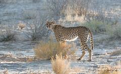 Desert Queen! (Jambo53 ()) Tags: icrobertkok kgalagaditransfrontierpark southafrica nikond800 500mmf4 cheetah jachtluipaard kgalagadi