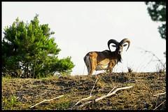 Mufflon / Ovis aries musimon (tingel79) Tags: mufflon bock horn landscape landschaft animal tiere natur nature outdoor germany schönowerheide sonya6500 sony sunshine day photographie photography world
