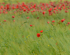 Oxfordshire poppies (Stuart Feurtado) Tags: cotswold cotswolds flaura flower grass green hills landscape oxfordshire poppies poppy red