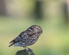 Little Owl (Nigey2) Tags: owl owls bird birds birdofprey perched wildlife wild wildbirds
