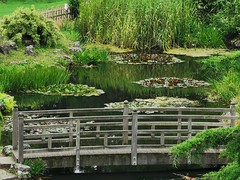 The little bridge in the Japanese Garden in Avenham Park and Miller Park, Preston (janettehall532) Tags: littlebridge japanesegarden pond lily avenhamandmillerpark naturephotography nature beautiful prestonlancashire photography photo photosofpreston outdoorphotography outdoors summersmorning summer avenhampark millerpark publicpark northwestengland england greatbritain unitedkingdom uk huaweip30pro huawei flickr green colour day naturelovers beautyinnature beauty