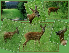 Besucher aus dem Wald / Visitor from the forest (ursula.valtiner) Tags: wiese meadow tier animal reh deer wald forest gräser grasses flatz niederösterreich loweraustria austria autriche österreich