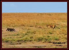FEMALE LIONESS (Panthera leo) CHASING WART HOG (Phacochoerus aethiopicus)....... MASAI MARA......SEPT 2018. (M Z Malik) Tags: nikon d3x 200400mm14afs kenya africa safari wildlife masaimara keekoroklodge exoticafricanwildlife exoticafricancats flickrbigcats lioness leo ngc npc
