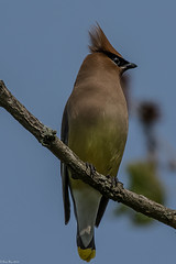 Yikes! (Fred Roe) Tags: nikond7100 nikonafsnikkor200500mm156eed nature naturephotography national wildlife wildlifephotography animals birds birding birdwatching birdwatcher cedarwaxwing bombycillacedrorum colors outside flickr peacevalleypark