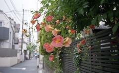 Chinese trumpet vine (odeleapple) Tags: olympus 35rc ezuiko 42mm fujicolorsuperiapremium400 film chinese trumpet vine flower