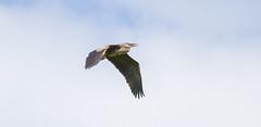 Heron In Flight (John Kocijanski) Tags: heron greatblueheron wings flight bird animal wildlife nature canon400mmf56 canon7d