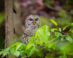 Barred Close-Up... (DTT67) Tags: owl barredowl 500mmii 1dxmkii canon raptor bird forest woodlands nature wildlife