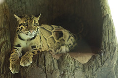 Clouded Leopard (Rackelh) Tags: cat bigcat leopard clouded animal mammal feline zoo toronto ontario canada