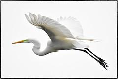 Great Egret (RKop) Tags: raphaelkopanphotography florida d500 200500mmf56edvrzoom nikon staugustinrookery