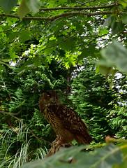 Búho real - Bubo bubo (diegocarreraperez) Tags: búho owl real bubo ojo ave rapaz bird bosque forest cabárceno cantabria españa spain nature naturaleza wild salvaje life vida