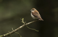 Shrike (Ann and Chris) Tags: norway south coast wildlife nature forest vestagder
