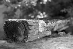 Weathered Wood (macromary) Tags: analog florida foma fomapan fomapan100 blackwhite analogphotograph bw blackandwhitefilm filmcamera film mechanicalcamera vintage vintagecamera rodinal 35mm nikkor 50mm 50mmlens 35mmfilm f14 nikonf100 f100 nikon monotone southern urbex rurex flurbex abandoned derelict stjohnscounty hastings lichen wood fence weathered