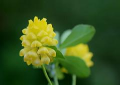 Hop Clover (jmunt) Tags: wildflower clover
