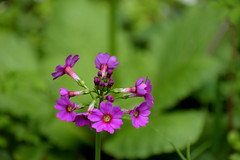Flowers of the wild (Abhay Parvate) Tags: flower pink nature macro bokeh wild