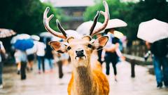 奈良。鹿 (stanley yuu) Tags: 奈良 動物 鹿 自然 nara animal japan