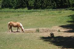 HEATWAVE AT THE HORSE PASTURE (LitterART) Tags: haflinger equestrian pferde horses pasture country alm wasserloch waterhole steiermark österreich austria landscape nature zaun fence weidezaun