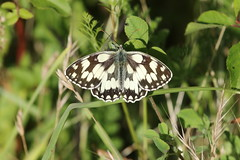 Marbled white (roger_forster) Tags: melanargiagalathea marbledwhite butterfly insect alvervalley gosport leeonthesolent hampshire hiwwt