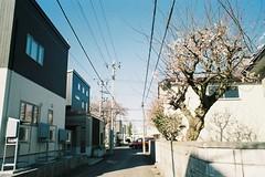 Ume flowers have come (しまむー) Tags: minolta srt101 mc rokkor 50mm f14 kodak gold 200 桜