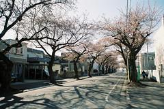 A street in spring (しまむー) Tags: minolta srt101 mc rokkor 50mm f14 kodak gold 200 桜