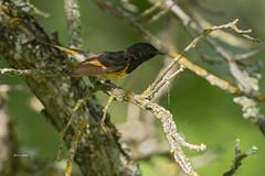 American Redstart (featherweight2009) Tags: americanredstart setophagaruticilla redstarts warblers woodwarblers songbirds birds