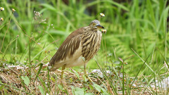 Indian Pond Heron (Birdwatcher18) Tags: heron indianpondheron waders birds birder birding birdwatching birdwatcher grass grassland nature natureal forest fauna