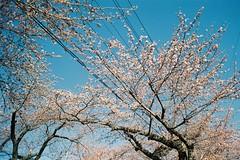 Sakura coming (しまむー) Tags: minolta srt101 mc rokkor 50mm f14 kodak gold 200 桜