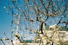 Magnolia (しまむー) Tags: minolta srt101 mc rokkor 50mm f14 kodak gold 200 桜
