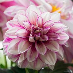 Dahlia (jungfrulin) Tags: white pink gardenflower flowersonya7 sony90macro