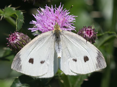 Cabbage White on Thistle Flower (explored 7/3/19) (vischerferry) Tags: cabbagewhite butterfly insect wildflower thistle macro
