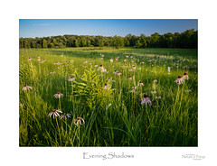 Evening Shadows (baldwinm16) Tags: flowers sunset summer plants flower nature season outside outdoors illinois twilight midwest blossom native echinacea dusk places il bloom coneflower grasses wildflower naturepreserve praire natureofthingsphotography