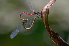 Damsels heart (FireDevilPhoto) Tags: insect nature animal dragonfly wildlife closeup macro carnivore outdoors leaf greencolor small animalwing summer invertebrate animalsinthewild beautyinnature arthropod branch forest damselfly bokeh