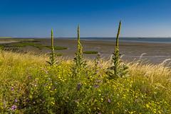 Waarde (Omroep Zeeland) Tags: westerschelde waarde slik eb laag water koningskaars zeedijk begroeiing
