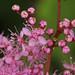 Filipendula auriculata  コシジシモツケソウ