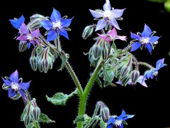 Borretsch (libra1054) Tags: borretsch boragoofficinalis borage borraja bourrache borragine blumen flores fiori flowers flors fleurs closeup