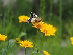 on the yellow flower (murozo) Tags: アゲハチョウ 蝶 ナミアゲハ swallowtail butterfly 花 黄色 黄 にかほ 秋田 日本 flower yellow green nikaho akita japan