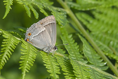 Purple Hairstreak (Favonius quercus). (Bob Eade) Tags: purplehairstreak favoniusquercus male butterfly summer eastsussex sussex woodland hairstreak bracken